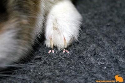 ぷりん前足爪